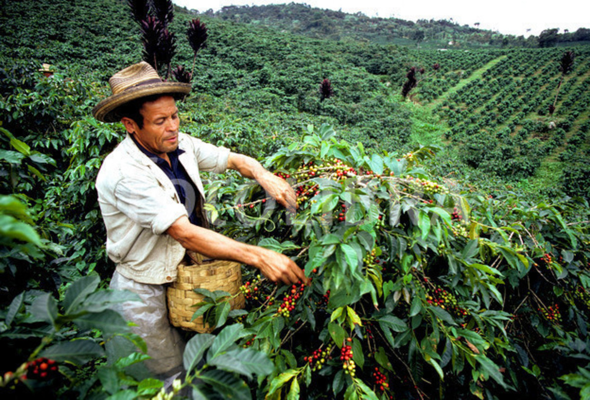 Harvesting coffee