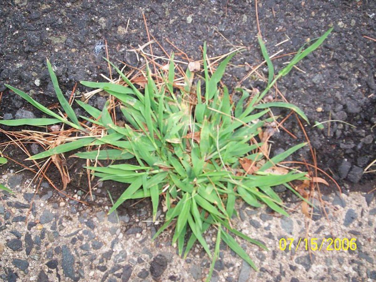 Crabgrass or Digitaria