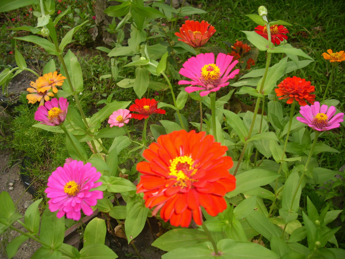 Colourful Zinnia Elegans