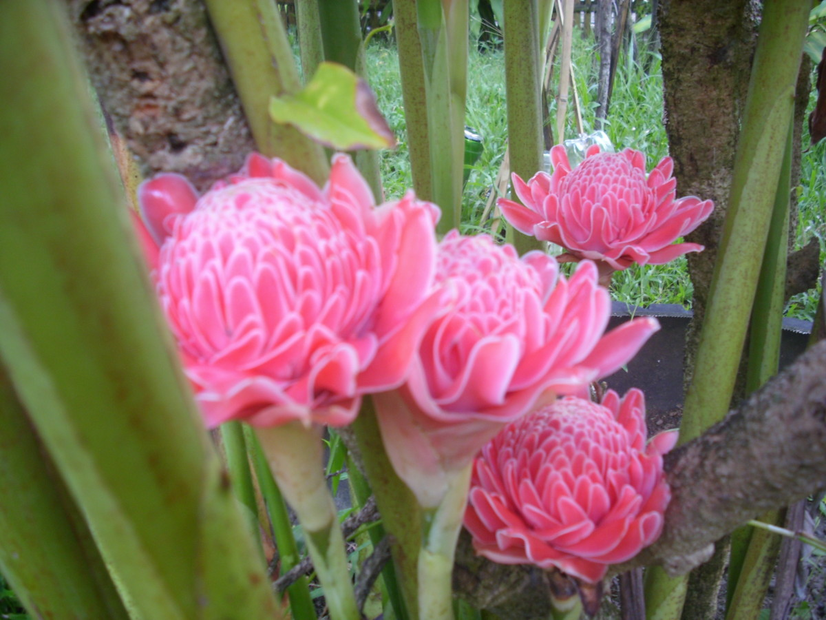 Torch Ginger flowers