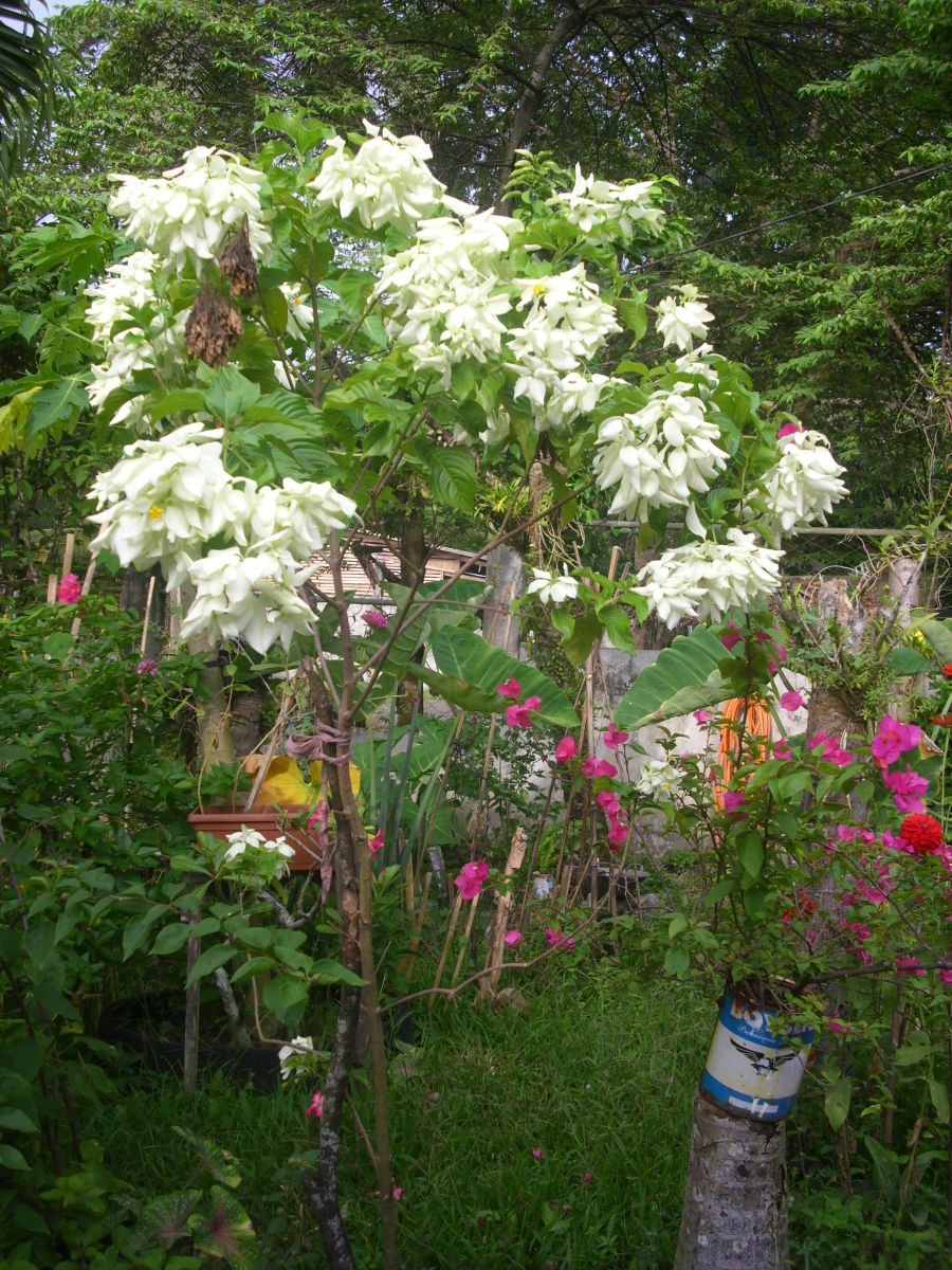 White Mussaenda or Dona Aurora and Bougainvillea