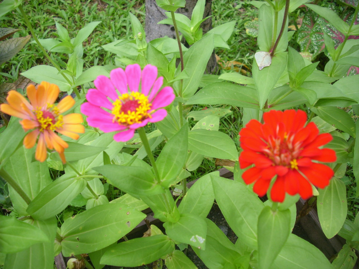Orange, pink and red Zinnias