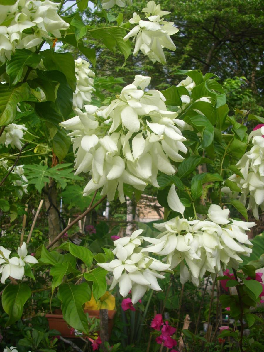 White Mussaenda or Dona Aurora