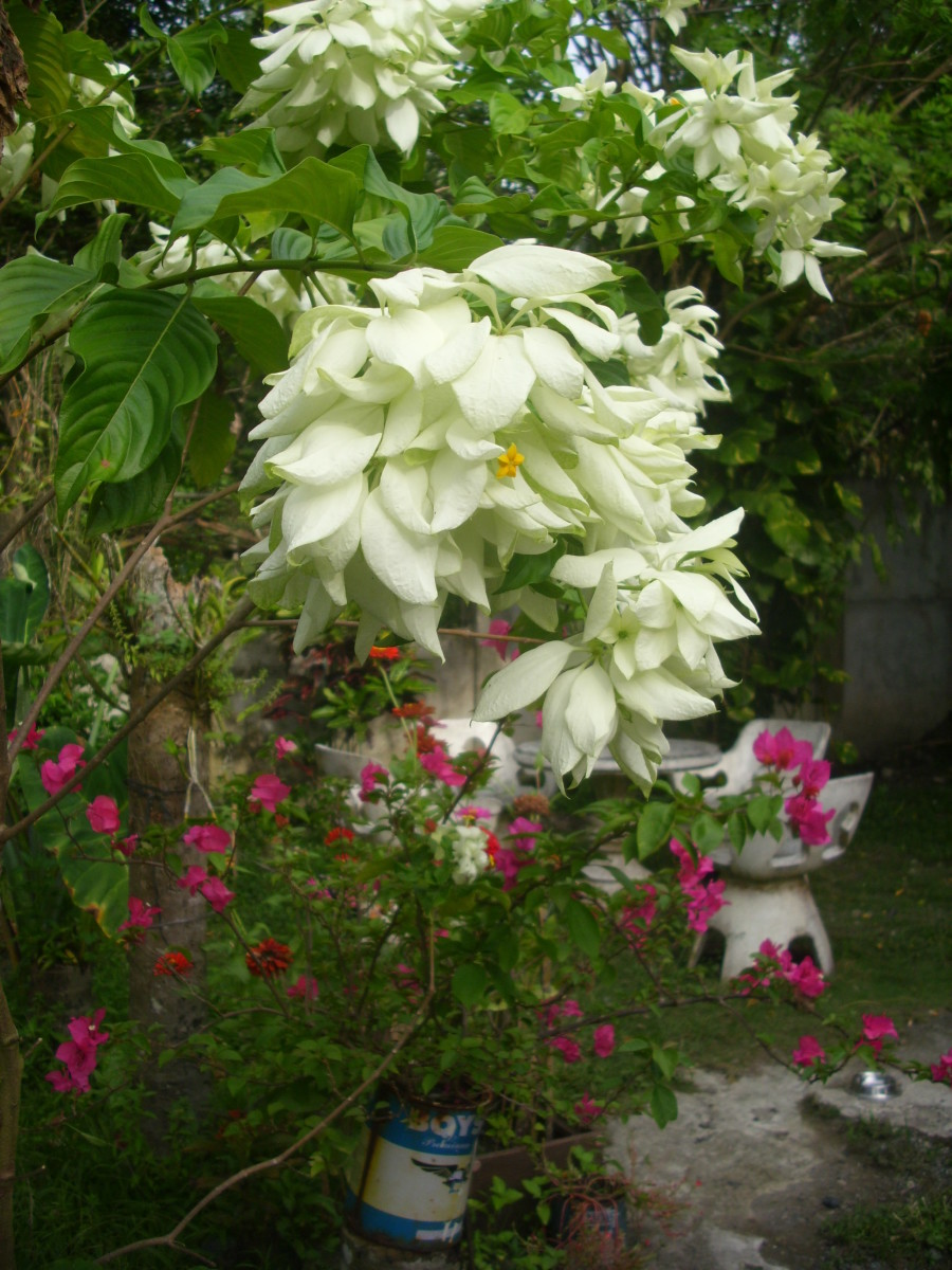 White Mussaenda or Dona Aurora, Bougainvillea and Zinnia