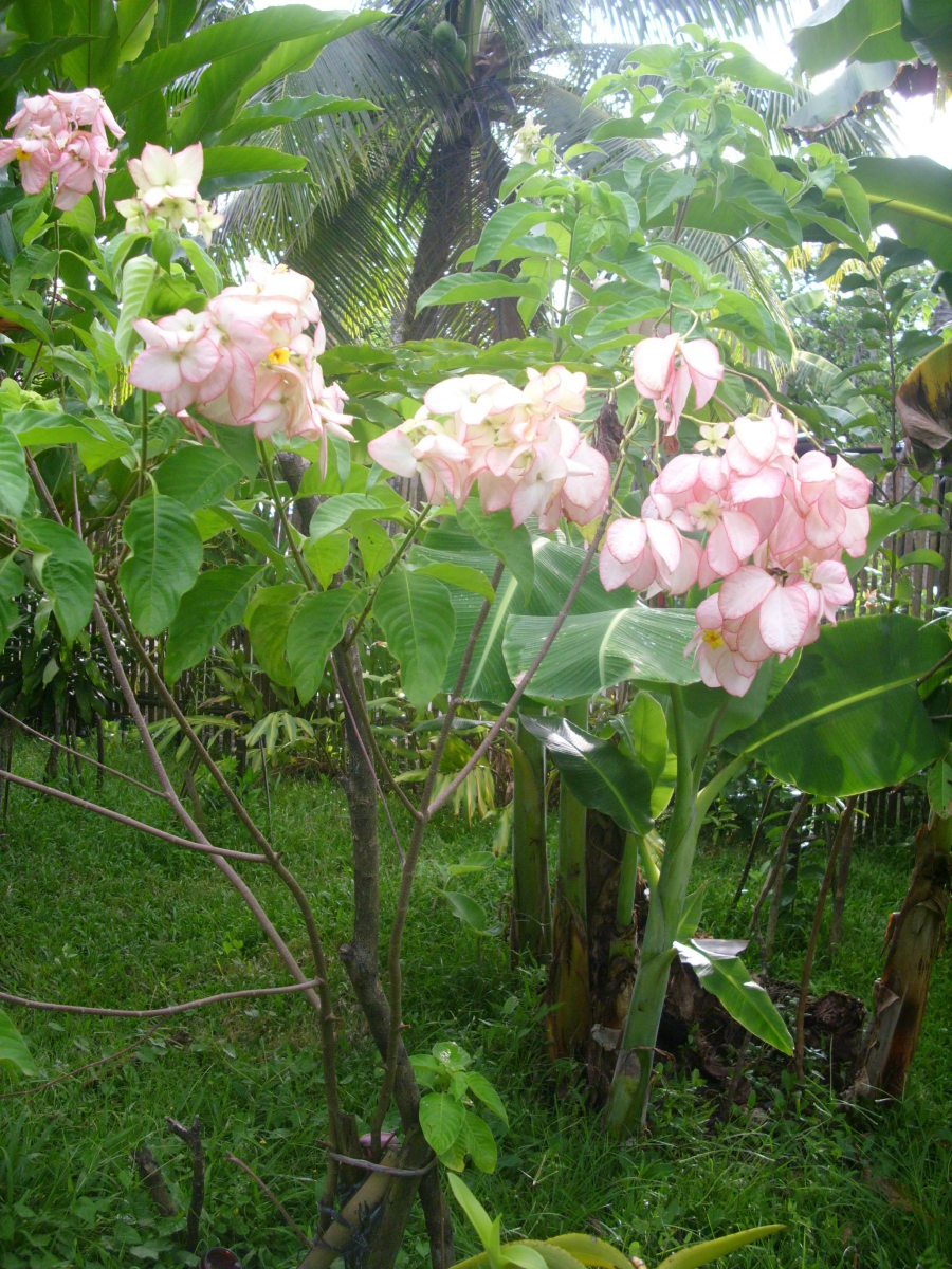 Pink Mussaenda or Dona Aurora with bananas and coconuts at the back.