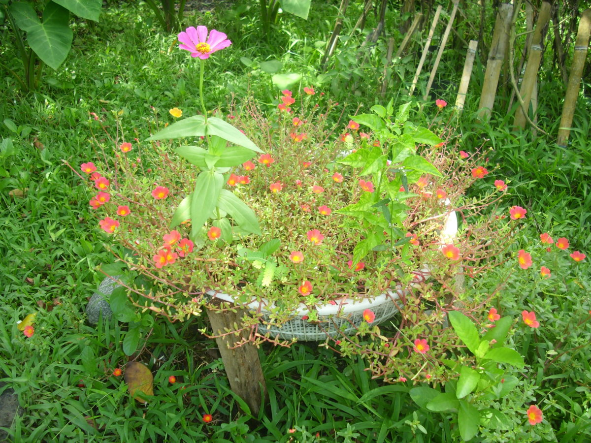 Portulaca grandiflora with Zinnia Elegans and Pepper plant