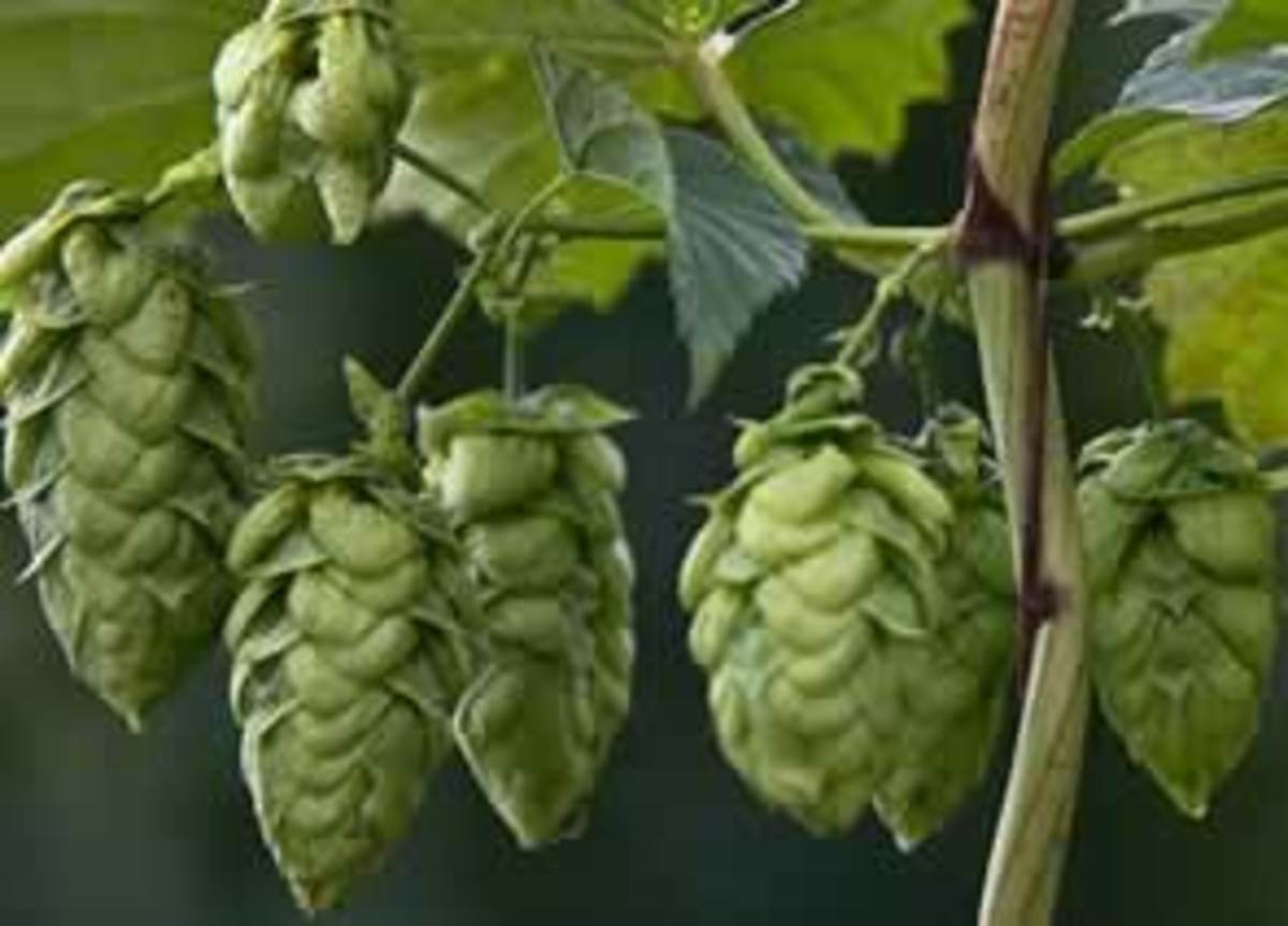Hops... Yes The Same Stuff Used To Make Beer. No Wonder You're So Relaxed After Drinking A Beer.
