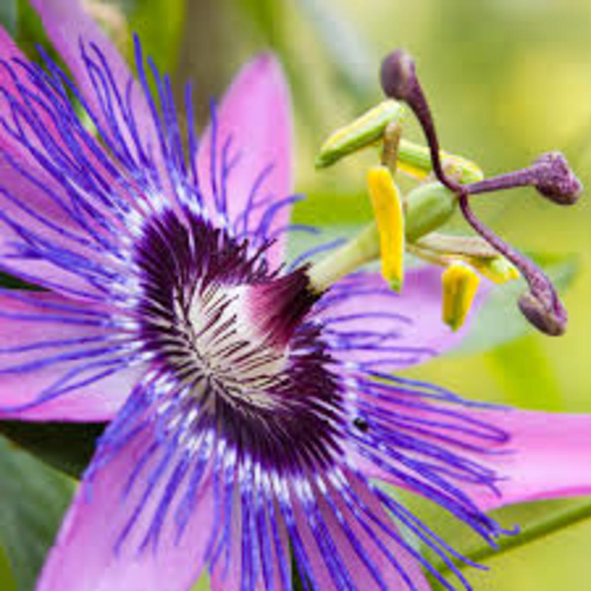 Passionflower Works As A Very Mild Sedative By Increasing GABA In The Brain