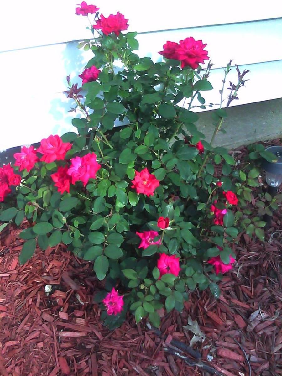 Roses In Garden: Knockout Rose Care-rose Bushes That Bloom ALL Summer