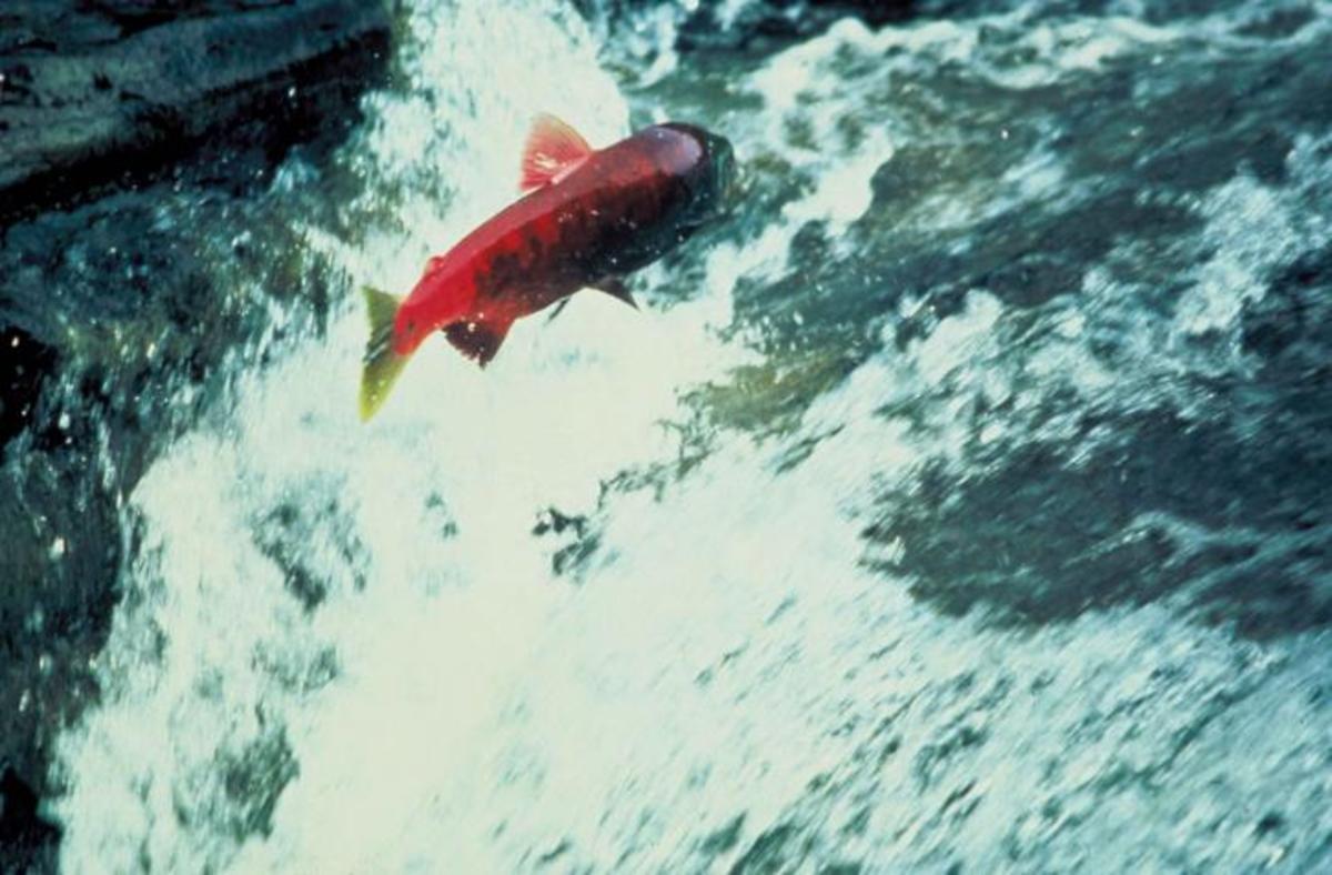 Alaskan salmon.