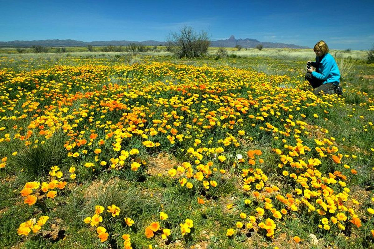A Photographer Captures Images of the Beautiful Mexican Poppy.