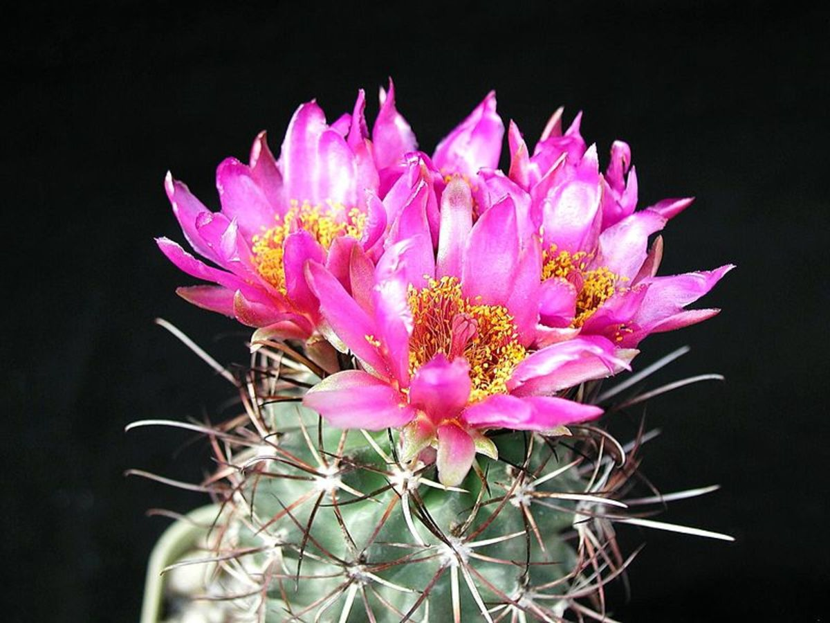 Beautiful Cactus Flowers