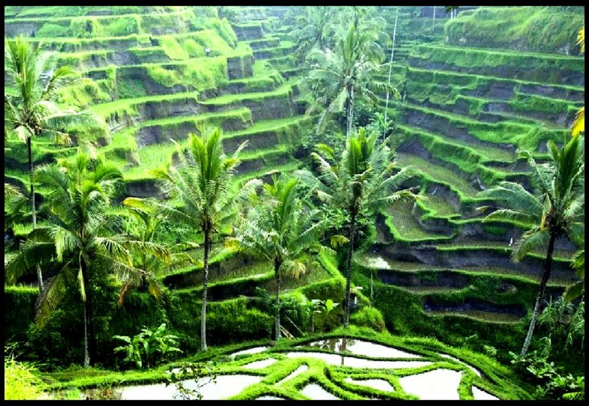 On the other hand, rice is one crop that needs lots of water, as we can see on these rice fields in Indonesia.