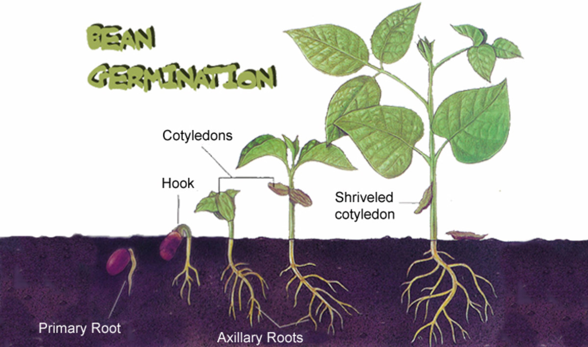 Bean seeds germination  and seedling development.