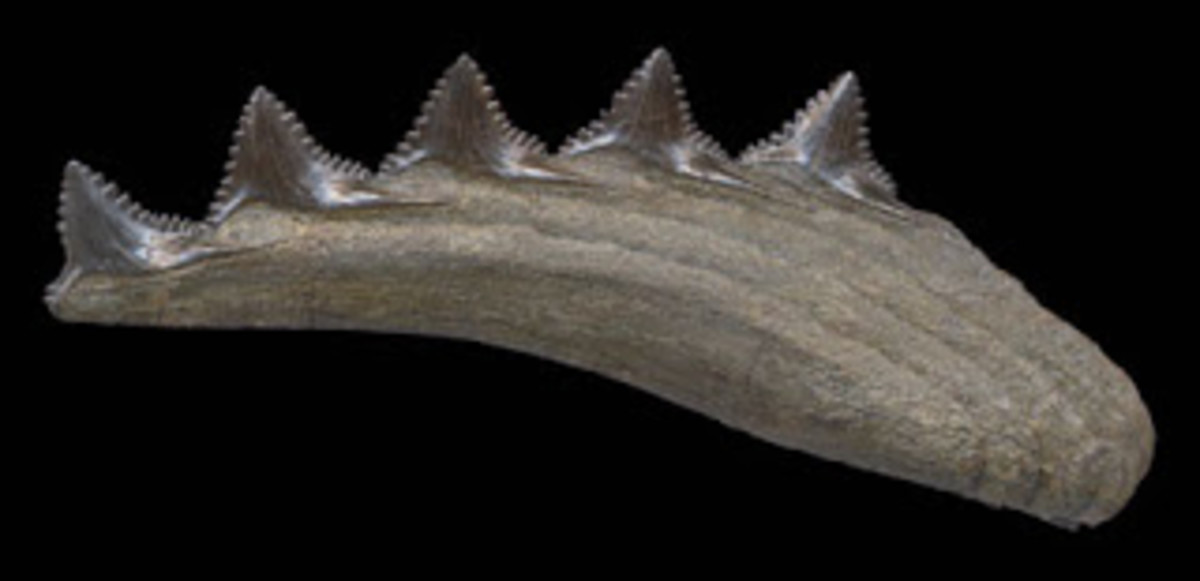 Edestus Jaw Fossil