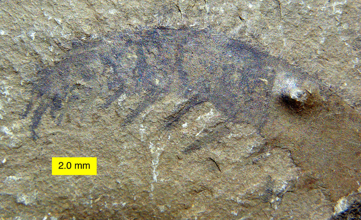 The fossil originally deemed to be a tail, but was actually a feeding arm of the Anomalocaris