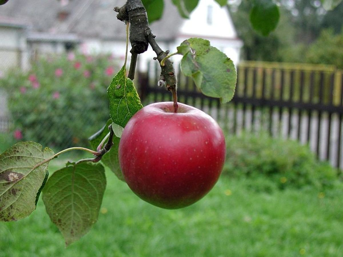 "What does ""the apple doesn't fall far from the tree"" mean?  Source: http://commons.wikimedia.org/wiki/File:Beautiful_red_apple.jpg"