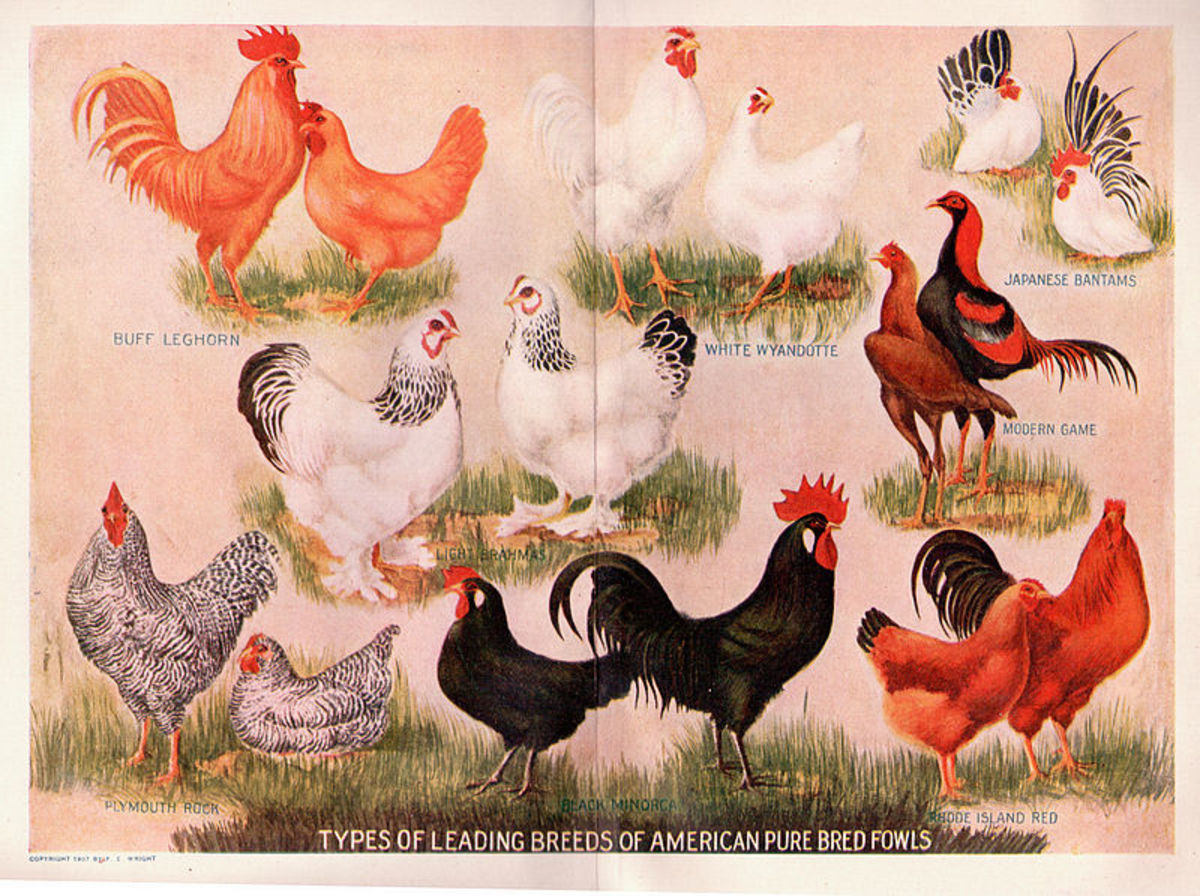 "What does ""don't count your chickens before they hatch"" mean? Source: http://commons.wikimedia.org/wiki/File:Chickens.jpg"