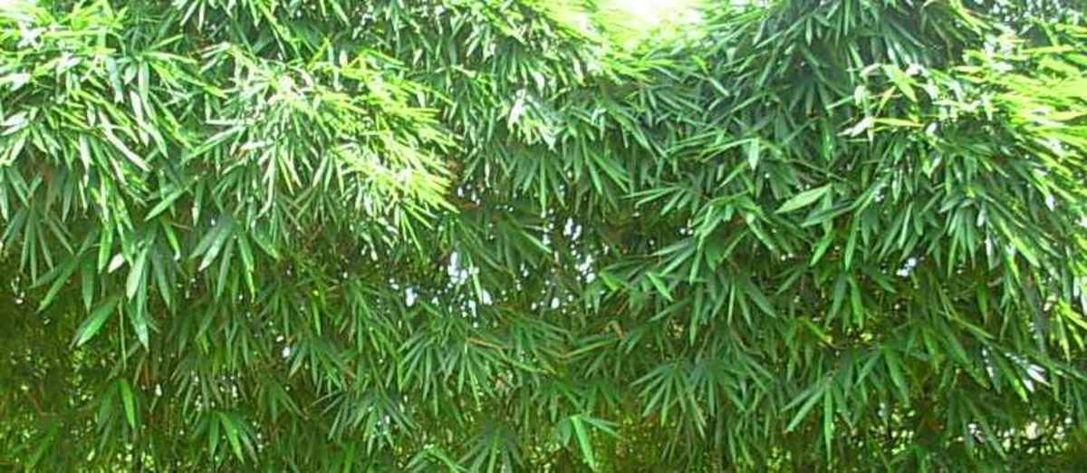 How to Grow Bamboo in Your Backyard