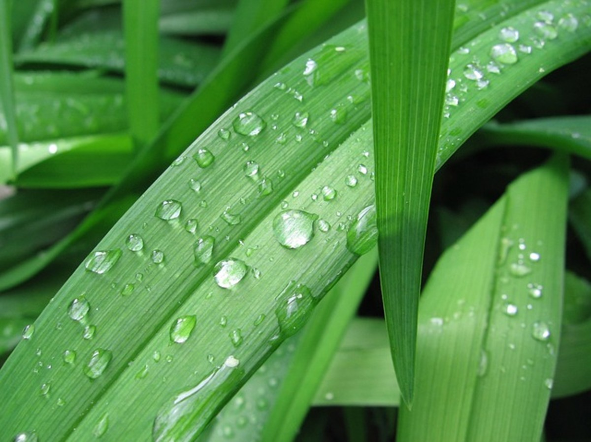 Water droplets bead on bamboo leaves.