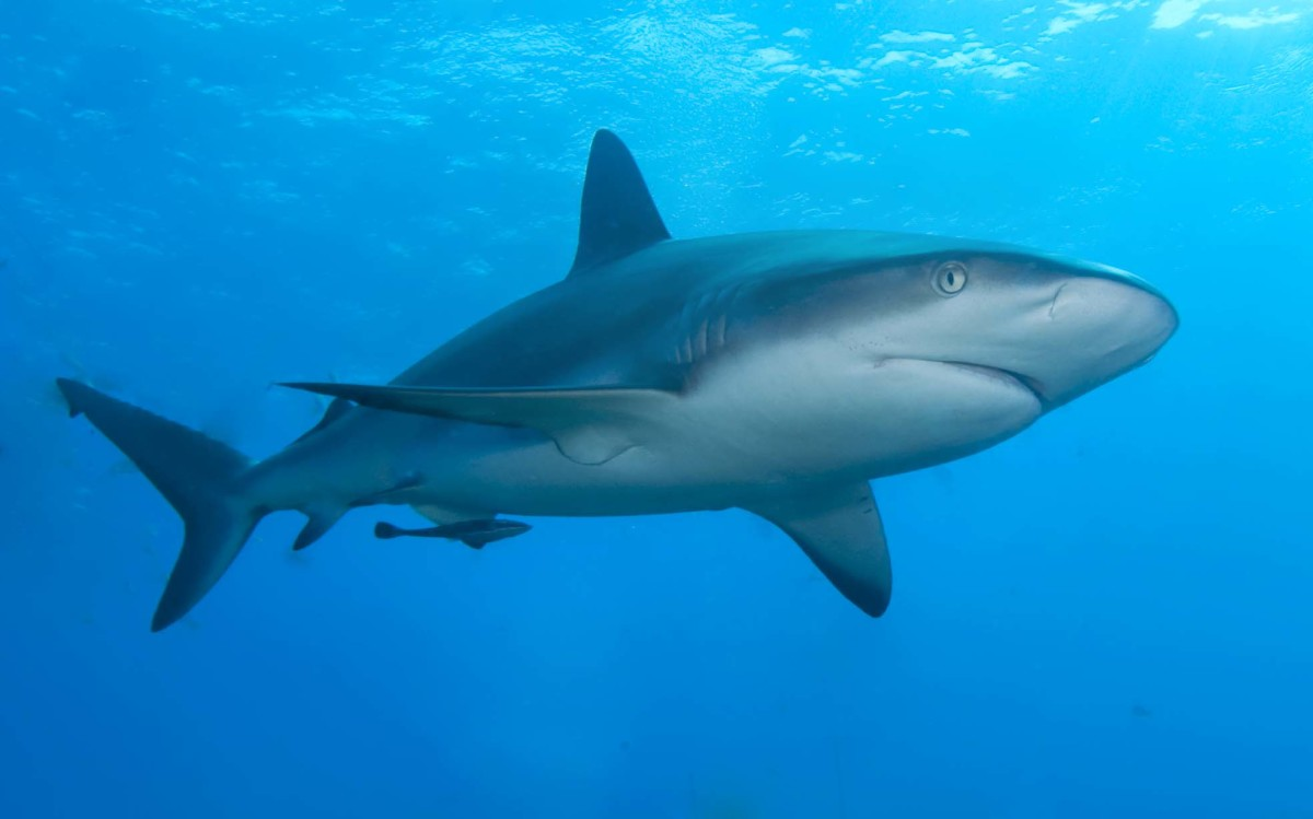 Caribbean reef shark is a member of the order of Carcharhiniformes