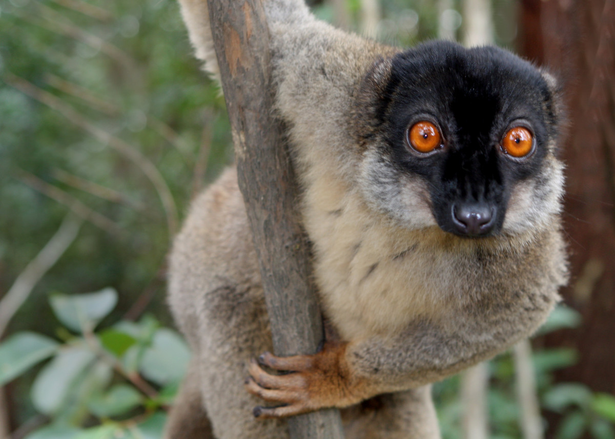 ... the Lemur of Madagascar?