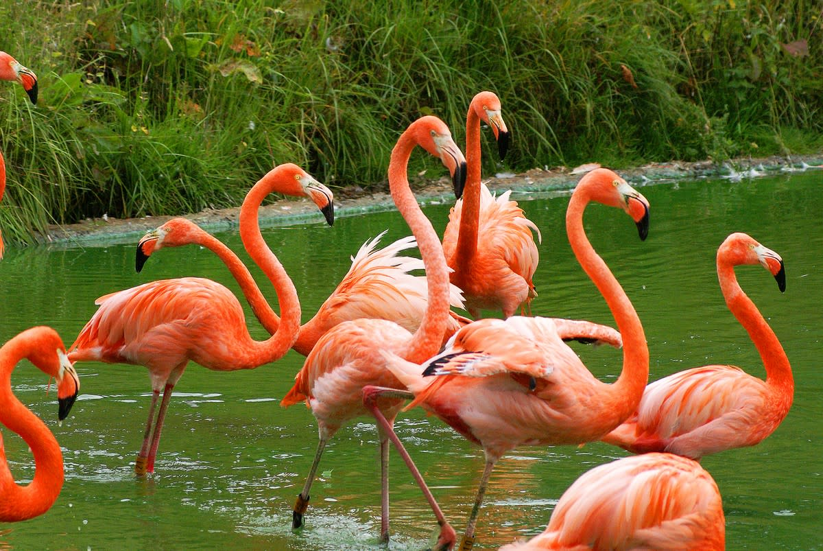 Some flamingos are more orange than pink. But whatever color they are, there is just one reason for it.