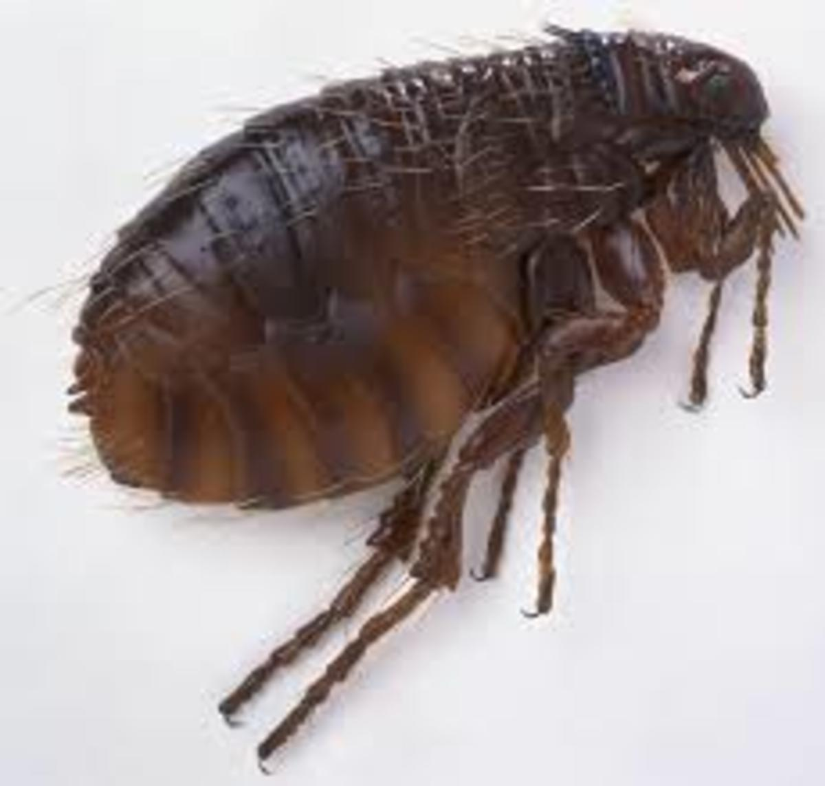 Photo of a cat flea