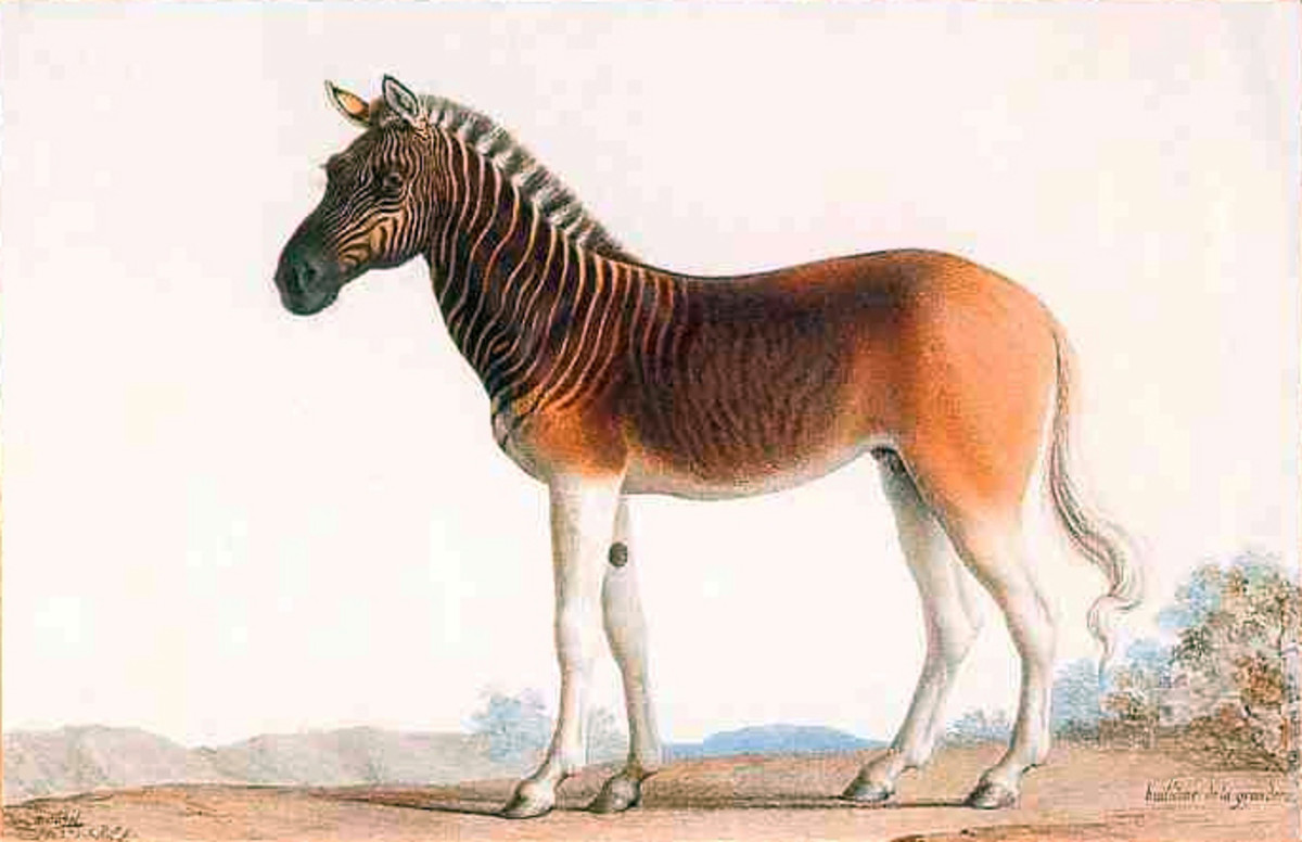 The Quagga is an extinct subspecies of the zebra that lived in South Africa until the 19th century.