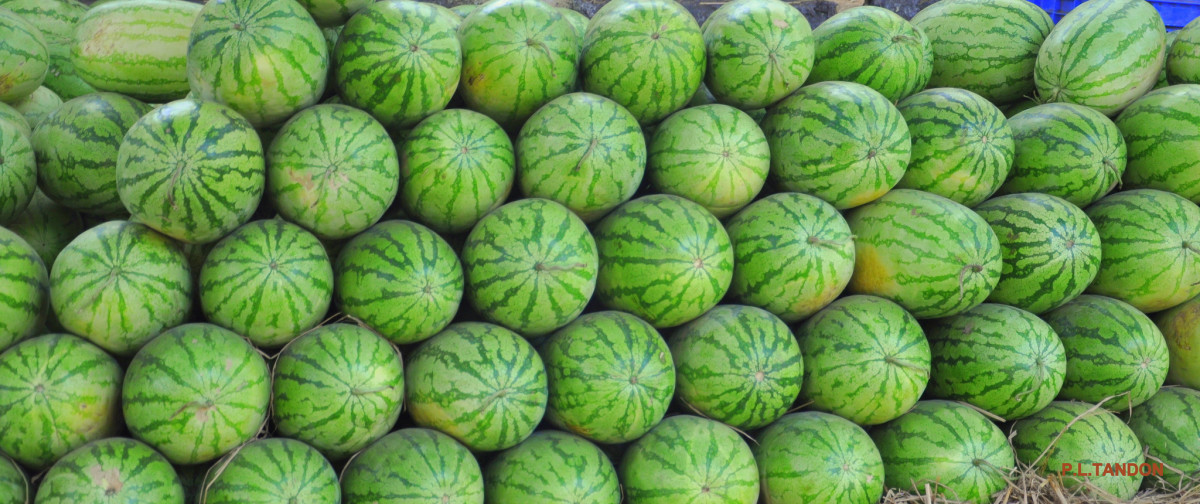 square-watermelon-a-popular-trend-in-japan