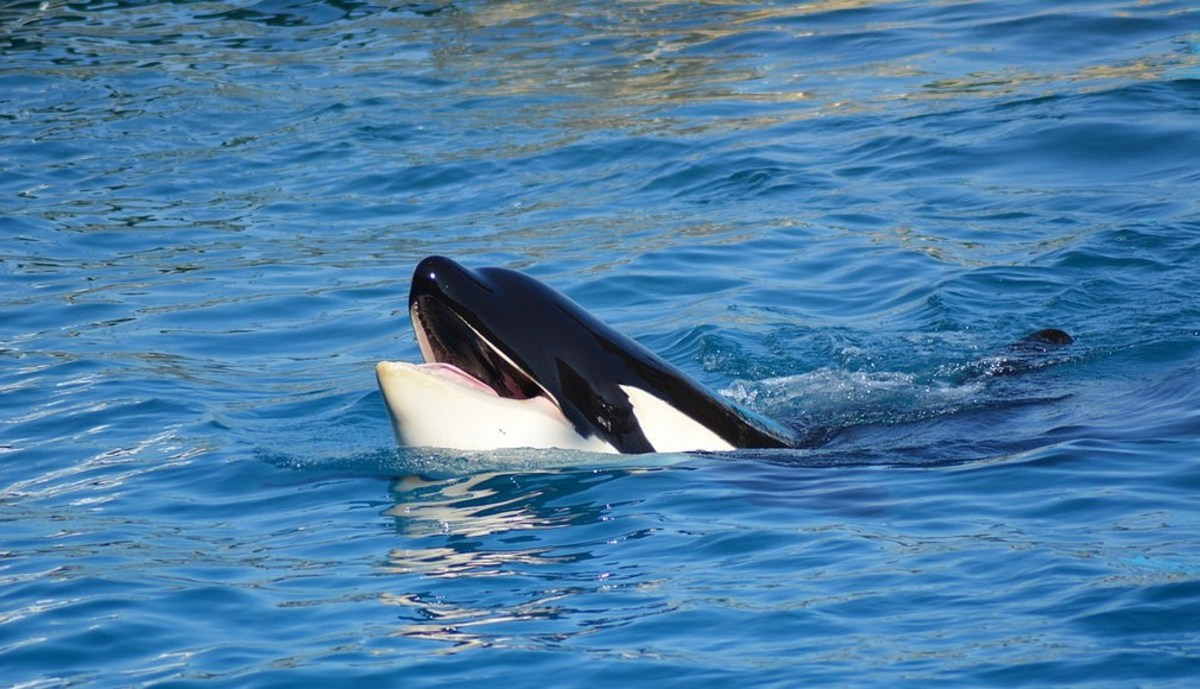 8 SeaWorld and Captive Orca Criticisms that are Completely Misguided