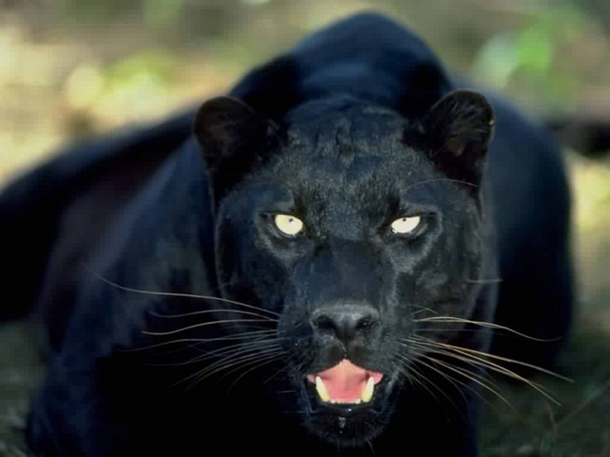 Most Australian sightings resemble a panther or cougar