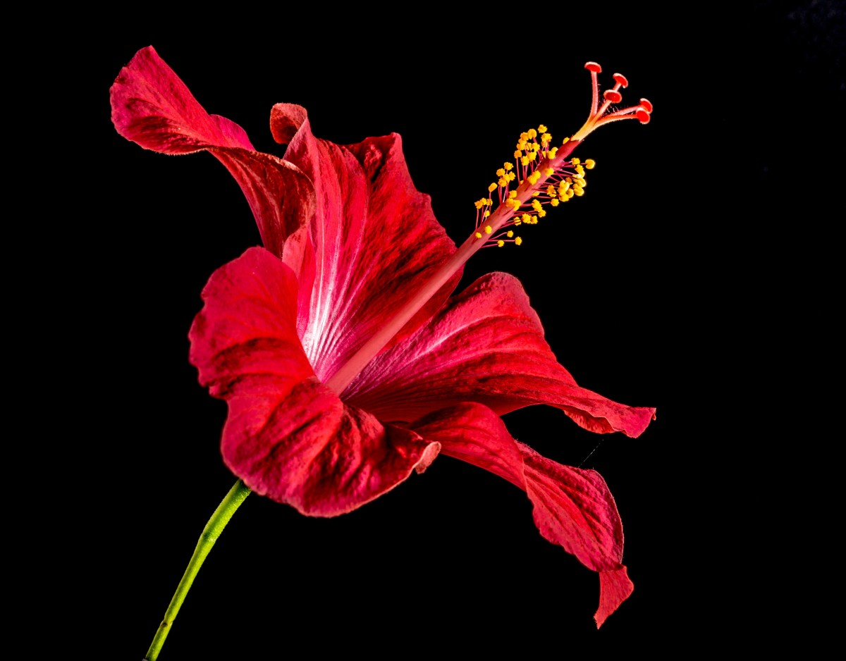 Photo Of Red Hibiscus Flower In Black Background | Photo Source: Pixabay