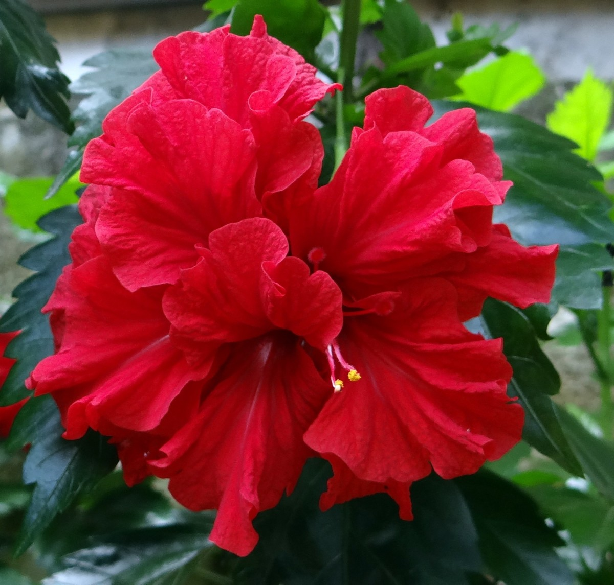 Red Hibiscus Flowers Pictures Varieties And Uses Hubpages