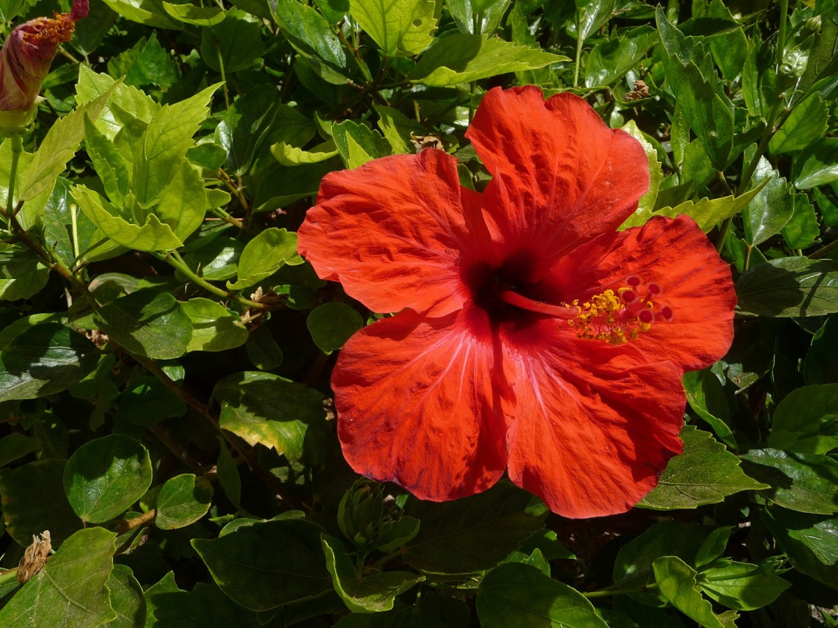 red-hibiscus-flowers-and-their-uses