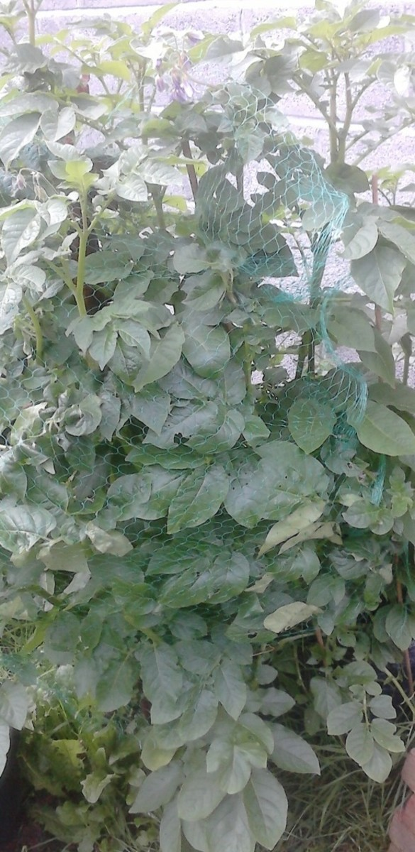 At the 3 to 4 month mark your potato harvest should be fully grown.