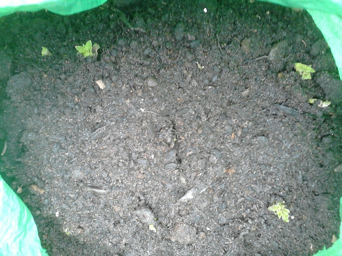 Once you have placed 2 to 3 of your seed potatoes into the potato bag, cover them with a layer of compost and give the good watering.