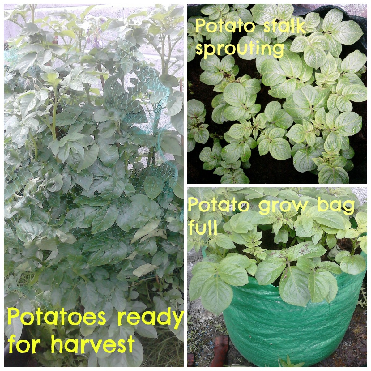 Each week you will see an increase in the size of the potato stalks in the potato grow bags.