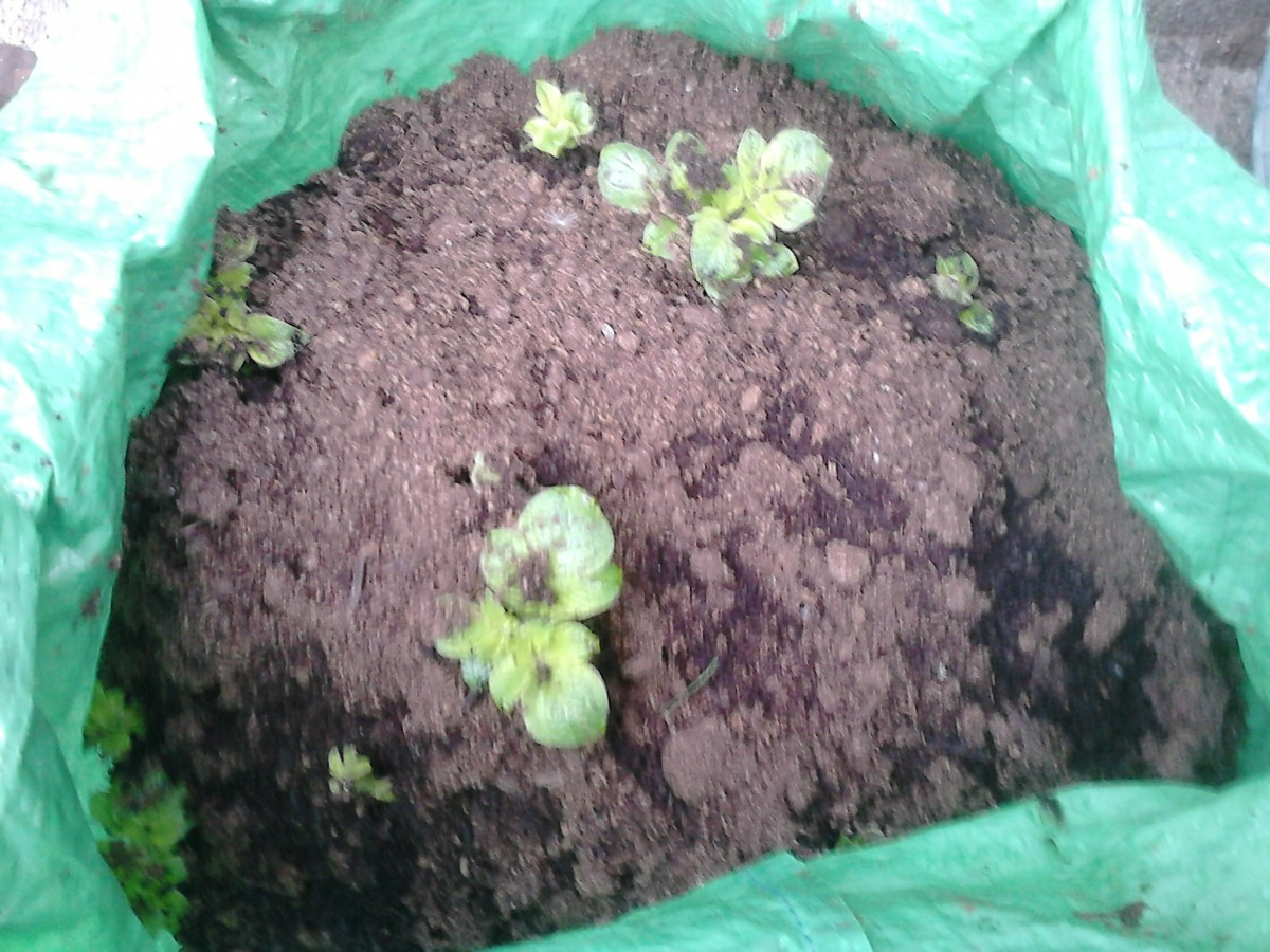 At the beginning of the third week if the weather is seasonally hot, you will see the sprouts starting to emerge more.