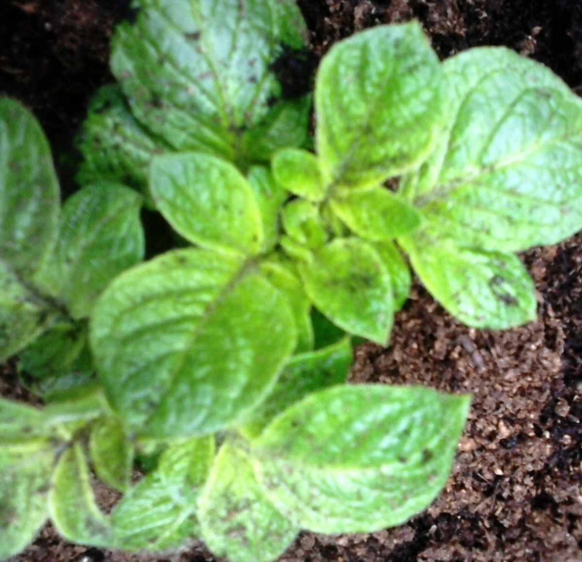Once you see the sprouts appearing on your  potatoes, it's important that you cover the potatoes each time. You will be surprised how quick it starts to grow.