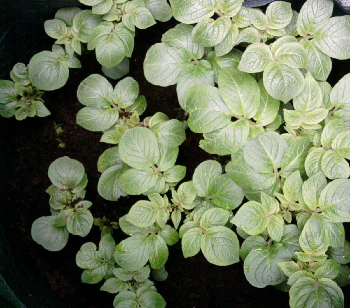 By week three you should see lots of potato stalks emerging from your grow bag.