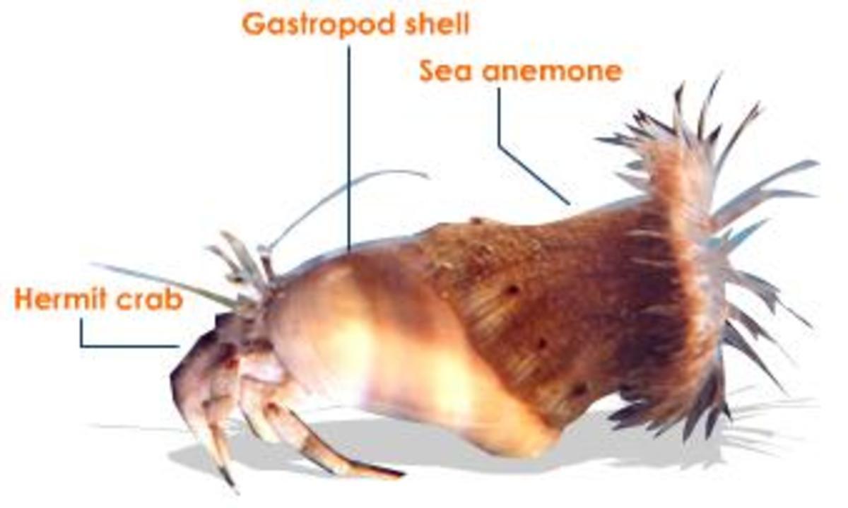 Protocooperation Between Sea Anemone And Hermit Crab