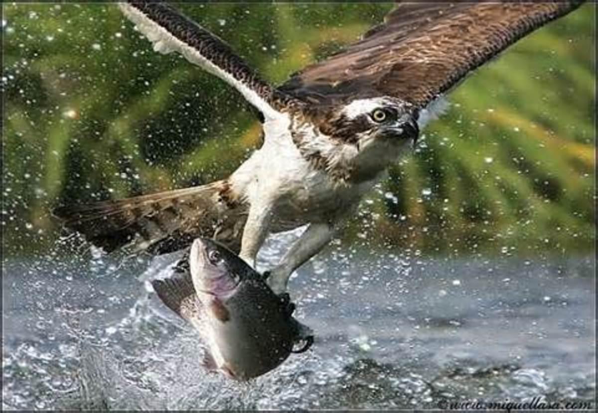Predator eagle and its prey fish