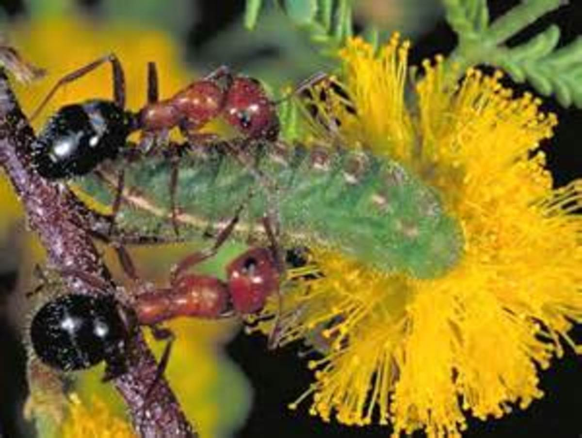 3-way mutualism appears to have evolved between an ant, a butterfly caterpillar, and an acacia in the American southwest. The caterpillars have nectar organs which the ants drink from, and the acacia tolerates the feeding caterpillars. The ants appea