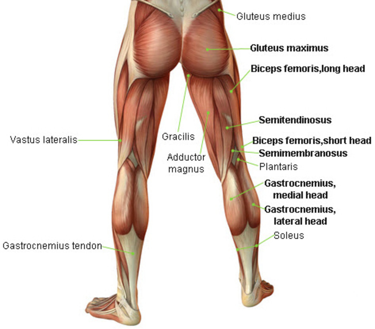 the leg bicep muscle developing the hamstrings : hamstring muscles diagram - findchart.co