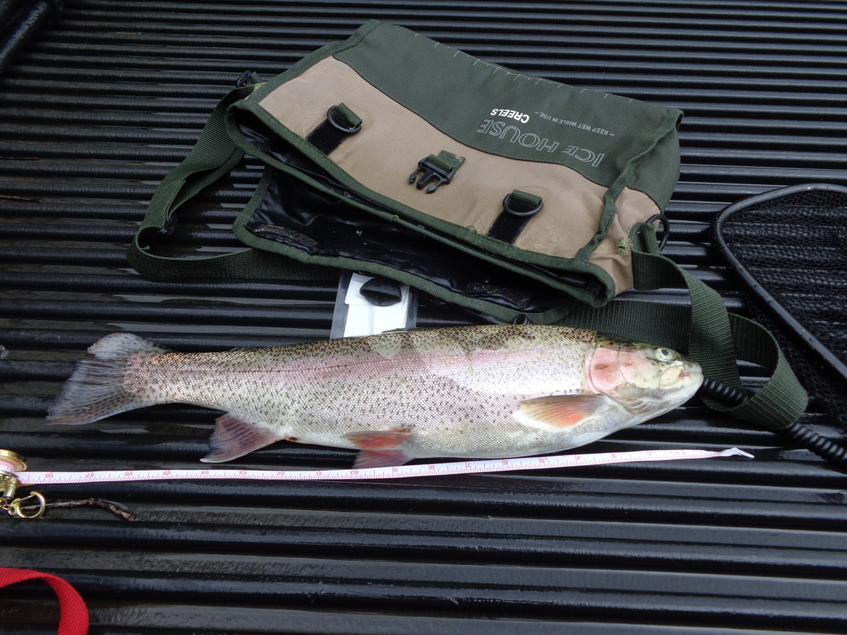 "18"" Rainbow Trout caught at Spillway Creek on August 22, 2015!"