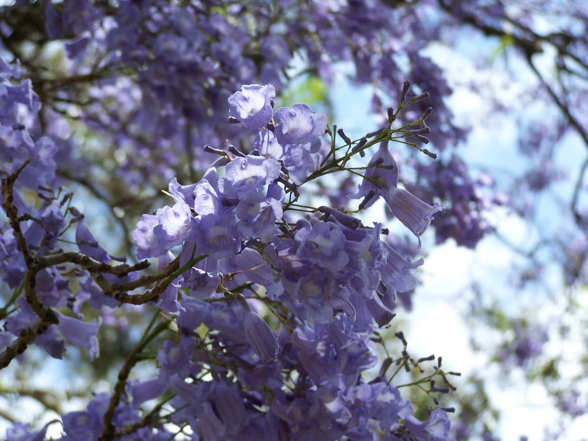 The beautiful Jacaranda tree