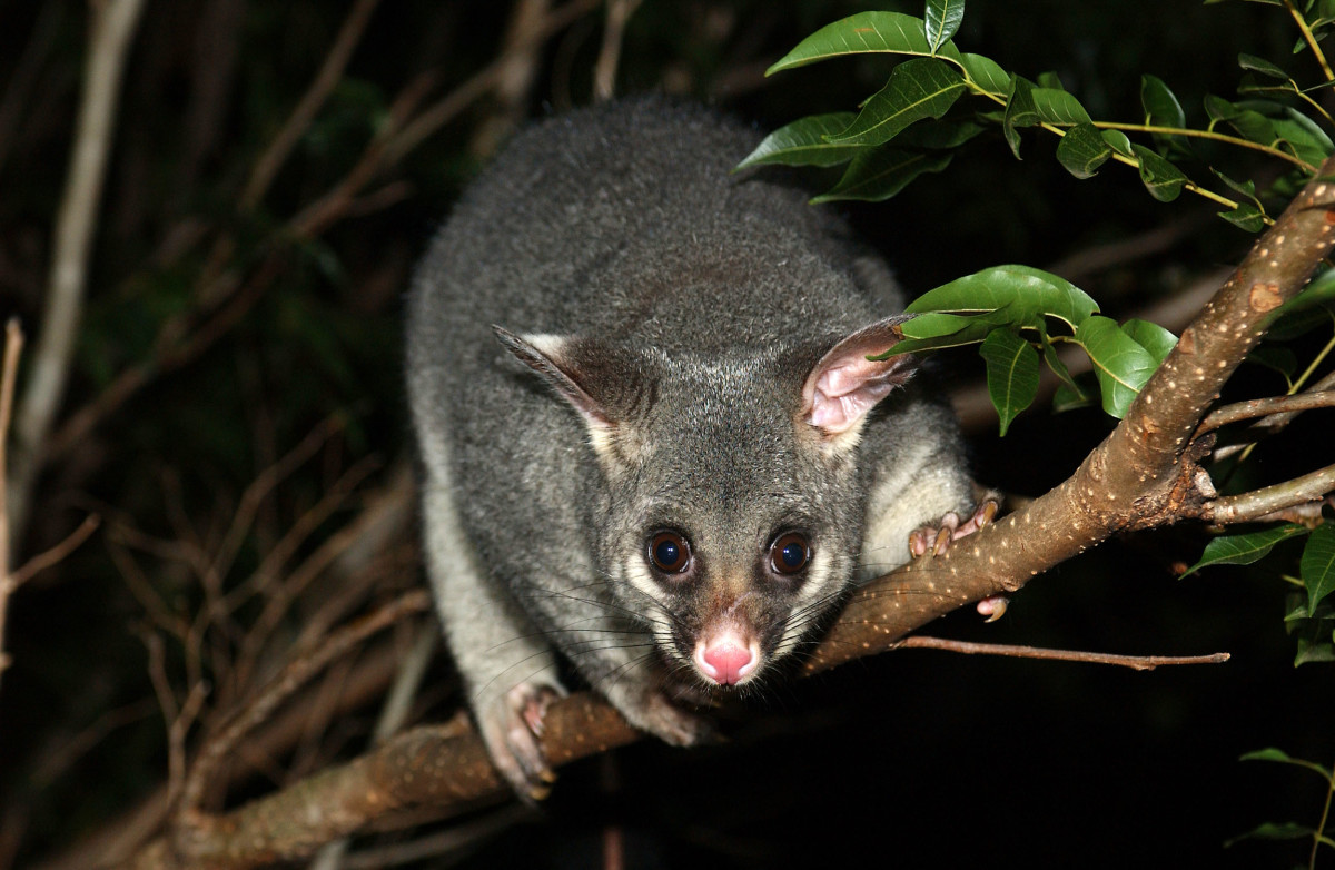 Brushtale possum