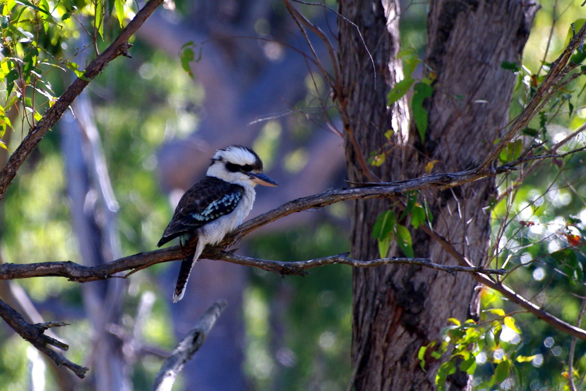 Father Kookaburra baby sitting