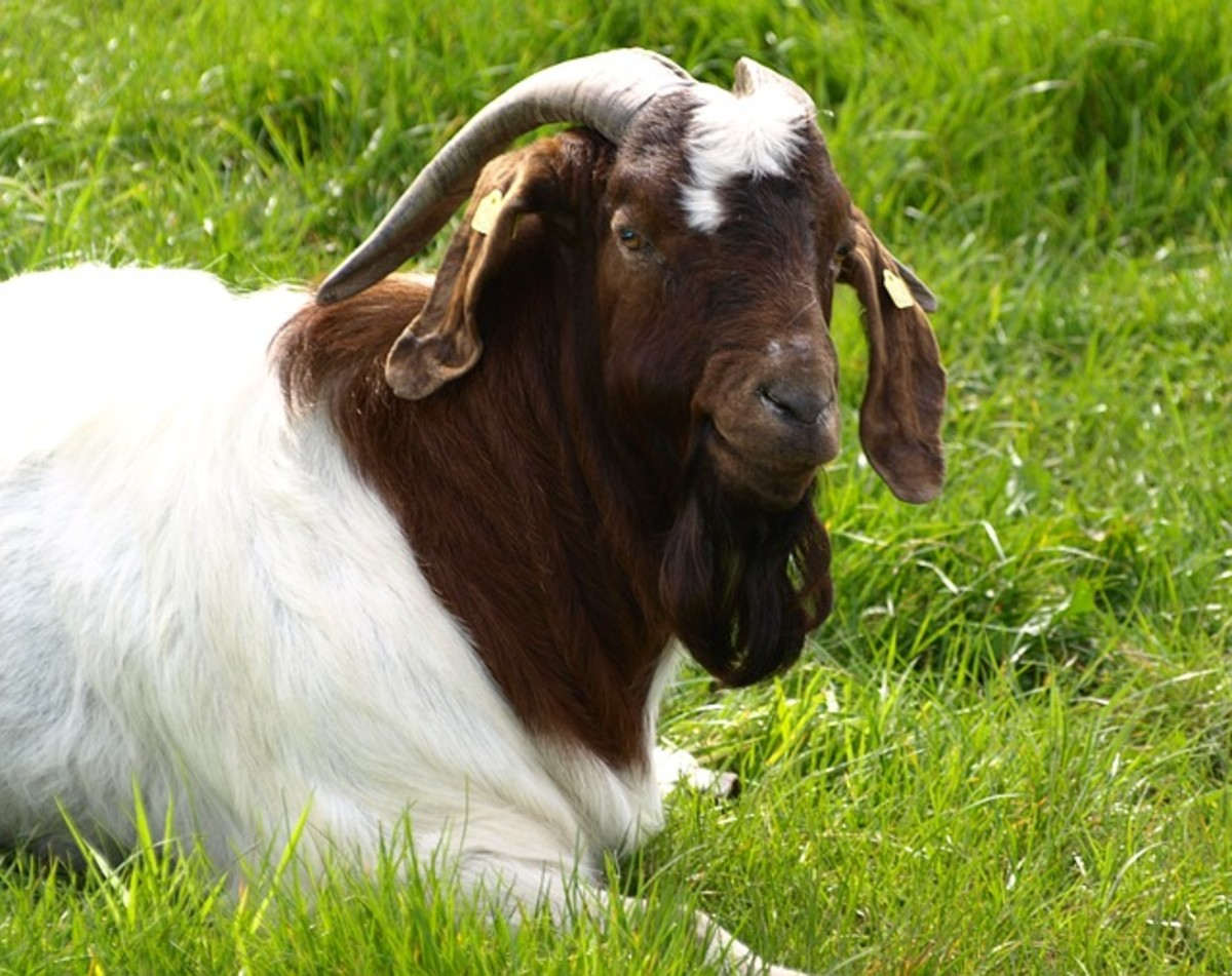Goaty the Goat